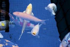 Le Japonais chie la nature d'animaux d'aquarium de poissons Images libres de droits