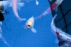Le Japonais chie la nature d'animaux d'aquarium de poissons Photos libres de droits
