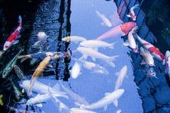 Le Japonais chie la nature d'animaux d'aquarium de poissons Photos stock