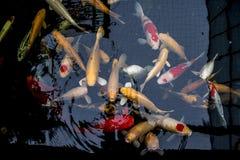 Le Japonais chie la nature d'animaux d'aquarium de poissons Photo libre de droits
