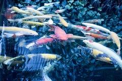 Le Japonais chie la nature d'animaux d'aquarium de poissons Image stock