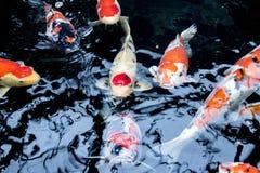 Le Japonais chie la nature d'animaux d'aquarium de poissons Photo stock