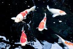 Le Japonais chie la nature d'animaux d'aquarium de poissons Images stock