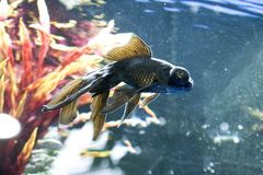 Le Japonais chie la nature d'animaux d'aquarium de poissons Photographie stock libre de droits