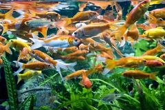 Le Japonais chie la nature d'animaux d'aquarium de poissons Photographie stock