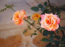 Le Japonais a monté : Multiflora de Rosa Photo stock