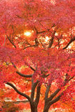Le Japonais vibrant Autumn Maple laisse le paysage avec le fond brouillé Photographie stock libre de droits