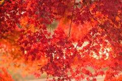 Le Japonais vibrant Autumn Maple laisse le paysage avec le fond brouillé Image libre de droits