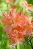 Le japonicum orange de sous-espèce de molle de rhododendron fleurit le macro selecti Photographie stock libre de droits