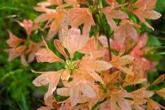 Le japonicum orange de sous-espèce de molle de rhododendron fleurit le macro selecti Photo stock