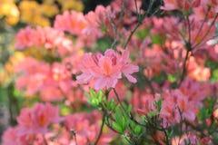Le japonicum orange de sous-espèce de molle de rhododendron fleurit le macro selecti Photo libre de droits