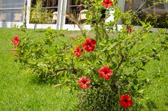 Le jardin de la maison complètement des fleurs rouges photos libres de droits