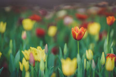 Le jardin de la tulipe photo stock