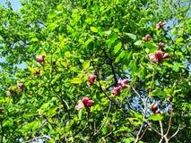 Le jardin de magnolia, le jardin botanique et les magnolias roses fleurissent Photographie stock libre de droits