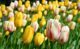 Le jardin des tulipes Photo stock