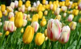 Le jardin des tulipes Photo stock