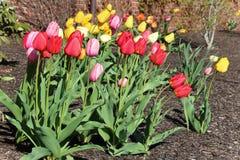 Le jardin des tulipes Image libre de droits