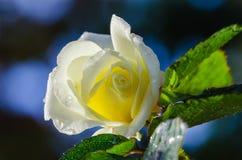Le jardin jaune s'est levé avec la rosée de matin Photo libre de droits
