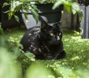 Le jardin - plantes de tomate et un chat noir Photographie stock
