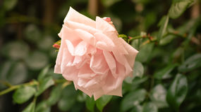 Le jardin rose s'est levé Photo stock
