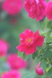Le jardin s'est levé Photos stock