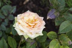 Le jardin s'est levé Photographie stock libre de droits