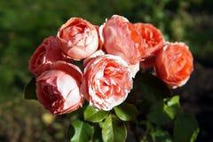 Le jardin s'est levé des inflorescences dans la fin d'automne vers le haut de la photo image libre de droits