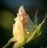 Le jardin s'est levé en rosée de début de la matinée Images stock