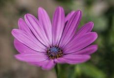Le jardin - un plan rapproché de la fleur violette Photos stock