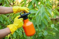 Le jardinier appliquant l'engrais insecticide pour des cerises de fruit et se protège contre le champignon, aphis photos libres de droits