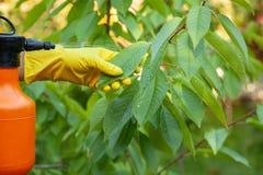 Le jardinier appliquant l'engrais insecticide pour des cerises de fruit et se protège contre le champignon, aphis images stock