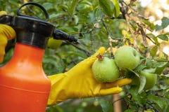 Le jardinier appliquant l'engrais insecticide pour des pommes de fruit et se protège contre le champignon, aphis images libres de droits