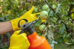 Le jardinier appliquant l'engrais insecticide pour des pommes de fruit et se protège contre le champignon, aphis photographie stock