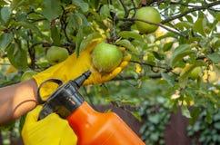Le jardinier appliquant l'engrais insecticide pour des pommes de fruit et se protège contre le champignon, aphis photographie stock libre de droits