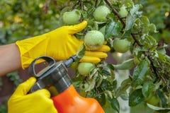 Le jardinier appliquant l'engrais insecticide pour des pommes de fruit et se protège contre le champignon, les aphis et les paras photographie stock