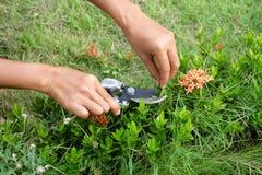 Le jardinier coupe Ixora par des cisailles dans le jardin Images libres de droits