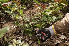 Le jardinier coupe le rosier avec un pruner Image stock