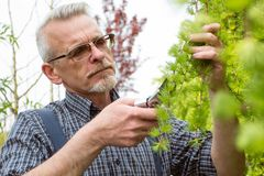 Le jardinier coupe les cisaillements de branche photos libres de droits