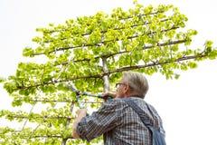 Le jardinier coupe les cisaillements ornementaux élevés d'arbre image libre de droits