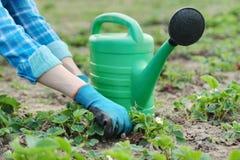 Le jardinier cultive le sol avec les outils de bricolage, le ressort faisant du jardinage, l'arrosage et la culture de fraise image stock