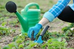 Le jardinier cultive le sol avec les outils de bricolage, le ressort faisant du jardinage, l'arrosage et la culture de fraise image libre de droits