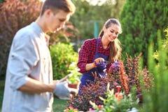 Le jardinier de type dans des gants de jardin met les pots avec des jeunes plantes dans la boîte en bois blanche sur la table et  photos stock