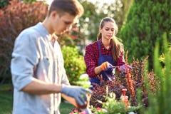 Le jardinier de type dans des gants de jardin met les pots avec des jeunes plantes dans la boîte en bois blanche sur la table et  photo libre de droits