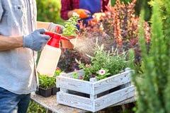 Le jardinier de type dans des gants de jardin pulvérise l'eau sur les pots avec des jeunes plantes dans la boîte en bois blanche  images libres de droits