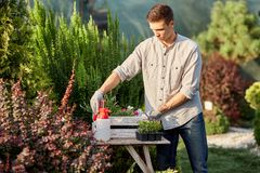 Le jardinier de type met les pots avec des jeunes plantes dans la boîte en bois blanche sur la table dans le crèche-jardin mervei photographie stock libre de droits