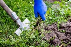 Le jardinier enlèvent des mauvaises herbes sur un lit de fleur Lit végétal franc de nettoyage photos libres de droits