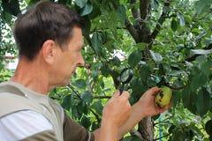 Le jardinier examine des fruits de poire avec la loupe à la recherche de photos stock