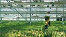 Le jardinier féminin marche en serre chaude avec des tulipes dans des mains banque de vidéos