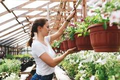 Le jardinier f?minin inspectant des fleurs cultivent ? l'int?rieur de la serre chaude images libres de droits