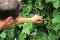 Le jardinier inspecte le groupe de raisin avec la loupe à la recherche de Image stock